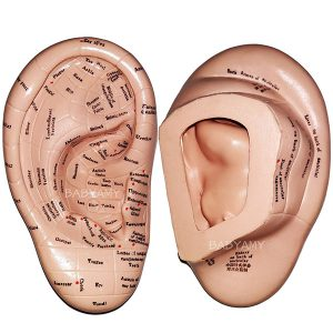 ear acupuncture model